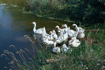 A flock of white geese on the pond