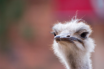 Close up of ostrich, looking skeptical
