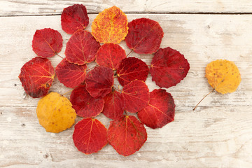 autumn leaf red aspen