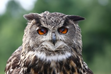 Eurasian eagle owl closeup