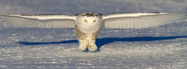 Snowy owl (Bubo scandiacus) prepares to catch its prey an open snowy field in winter in Ottawa, Canada