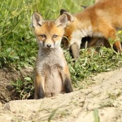 red fox cub looking at camera