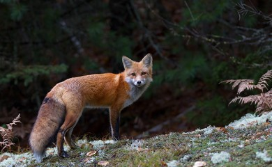 Red fox (Vulpes vulpes) with a bushy tail in Algonquin Park, Canada in the fall