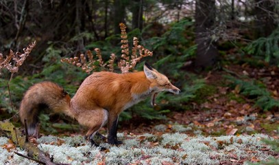 Red fox (Vulpes vulpes) with a bushy tail nature call in Algonquin Park, Canada in the fall