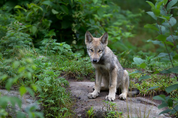 A timber wolf pup sits on a rock in spring