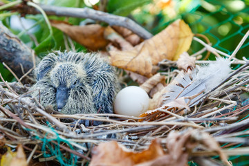Cría y huevo en el nido de Tórtola Turca. Streptopelia decaocto.