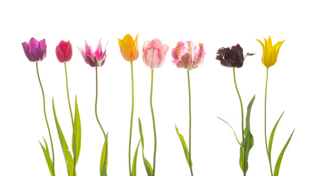 flowers of different varieties of tulips