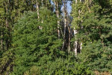 Bosque de Falsas Acacias y Chopos. Robinia pseudoacacia y Populus.