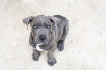 Adorable grey cane corso puppy, close up, looking up towards the camera