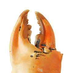 Crab Claw isolated on white background clipping path