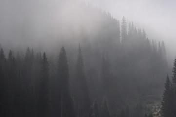 Foggy Morning Forest in Carpathians