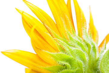 Macro of  sunflower over isolate white background. - HELIANTHUS annuus isolated on white background with clipping path