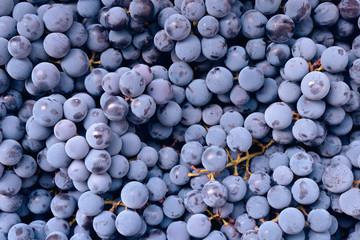 Red wine grape. Dark grapes background. Isabella grape. Blue grapes. Grape vine.
