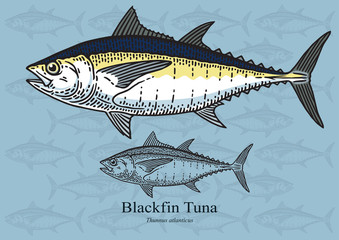 Blackfin tuna. Vector illustration for artwork in small sizes. Suitable for graphic and packaging design, educational examples, web, etc.