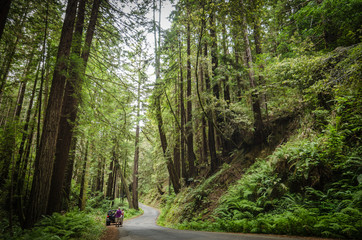old growth redwood forest on the pacific coast towering over tourists in vehicle