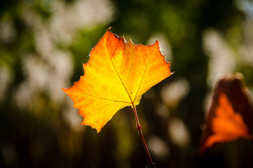 dingle red and yellow leaf against blurred background