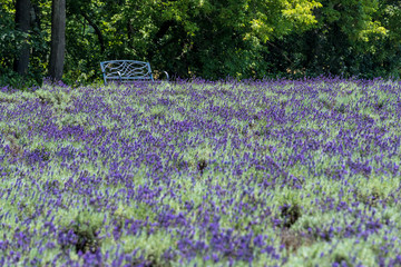 Park bench in field of lavender