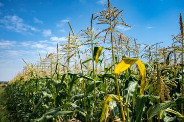 cornfields under a blue sky