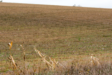 dried corn stalks in field with silos in background