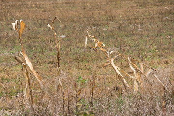 dry corn stalks in ploughed field