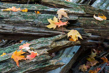 maple leaves on split rail fence