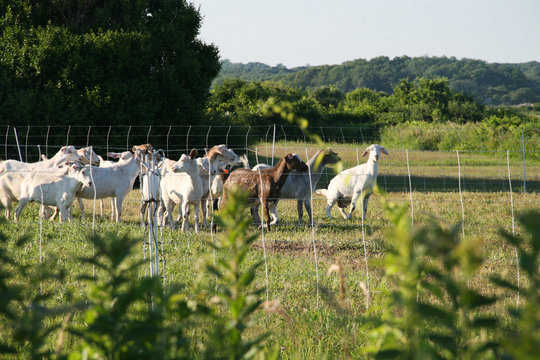 Goat Landscaping in Little Compton, Rhode Island