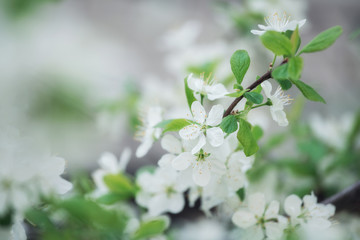 White Cherry Flowers Branch On The Foreground Picture