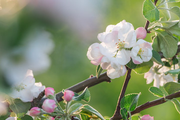 Cherry Flower Branch Close Up Picture