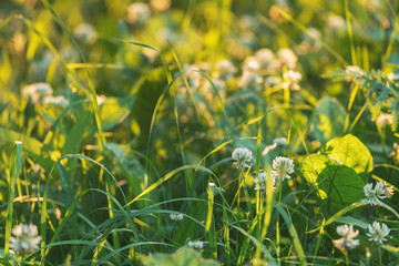 White Clover Flowers Meadow Close Up