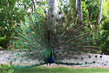 Male peacock, Pavo cristatuanimals