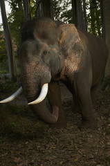 Asian Elephant Photographed in Thailand Jungle