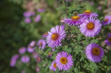 Ярко-сиреневые цветы растущие на кусте