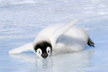 Emperor penguin chick cooling off on sea ice, Snow Hill Island, Antarctic Peninsula