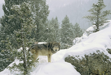 Wolf (Canis lupus) on rocky mountain slope in snowstorm, Montana, USA.