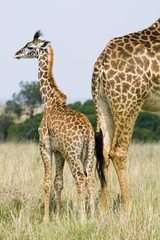 Mother giraffe (Giraffa camelopardalis) and baby, Masai Mara Reserve, Kenya, East Africa