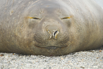 Close up of Southern Elephant Seal sleeping, Patagonia, Chile