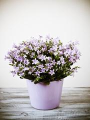 Purple campanula flowers in the pot