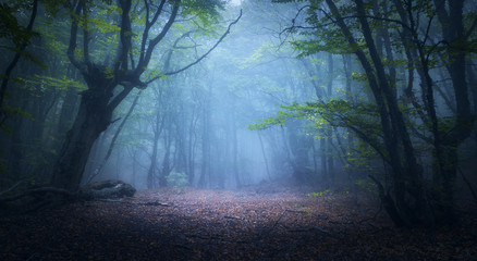 Wall Murals Forest Forest in fog. Fall woods. Enchanted autumn forest in fog in the morning. Old Tree. Landscape with trees, colorful green and red foliage and blue fog. Nature background. Dark foggy forest