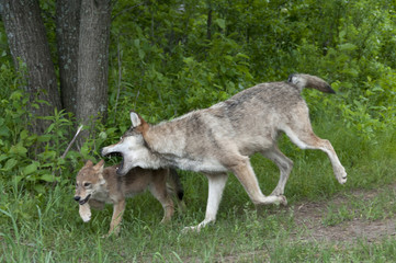 Adult gray wolf nipping pup for discipline; Minnesota; (Canis lupus);