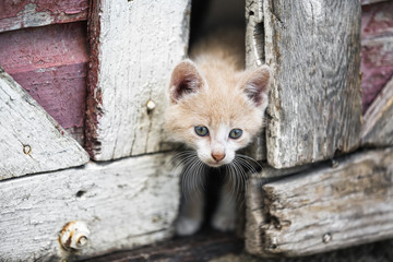 Kitten peeking through barn doors, Manitoba, Canada