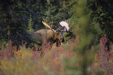 Moose (Alces alces) Male. Generally slow-moving and sedentary, moose can become aggressive. Rutting males have charged people, horses, cars and locomotives. Autumn, Denali National Park, Alaska, United States of America.