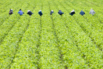 Workers picking Strawberries at a farm in the Cowichan Valley near Duncan, Vancouver Island, British Columbia, Canada.