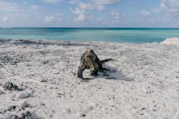 iguana on the beach of Cayo Largo in Cuba