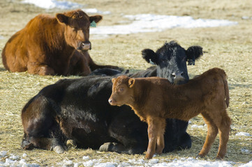 Angus (Bos taurus) Cattle at  Ranch southwest Alberta Canada.