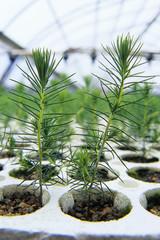 Spruce seedlings in nusery, Hadishville, Manitoba, Canada.