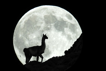 Silhouette of guanaco against Moon at night, Patagonia, Chile