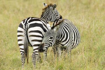 Mutual grooming in a pair of adult plains zebra (Equus burchelli), Serengeti Plains, East Africa, Kenya