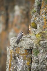 Pergrine Falcon on a rock cliff, British Columbia, Canada.