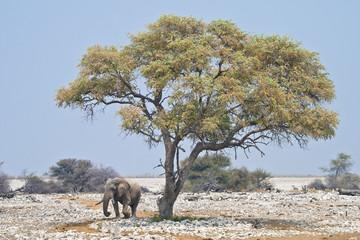 African elephant (Loxodonta africana), Etosha National Park, Namibia, southern Africa