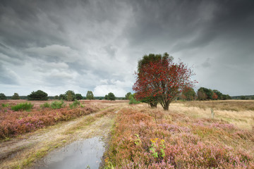 rowan tree and heather by ground road
